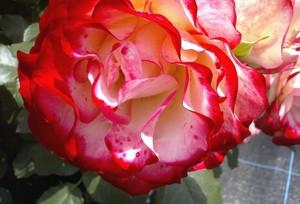 Rosegardencloseup1010651