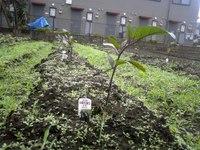 Eggplant2week1010785